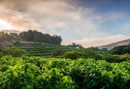 Der samische Wein spielt die Hauptrolle in Frankreich