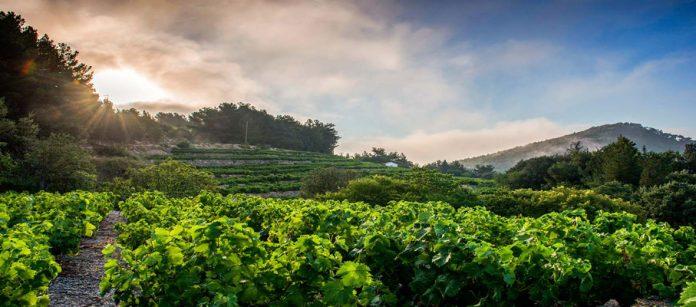 Le vin de Samos : Protagoniste en France